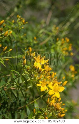 Canary Islands St. John's-wort
