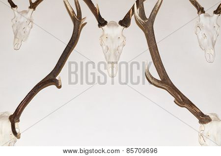 Deer Antler Trophies