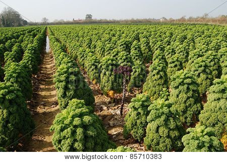 Rows of Green and Red Kale Growing on a Farm