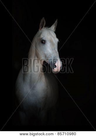 White Purebred Horse