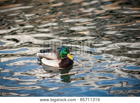 Drake On a Water