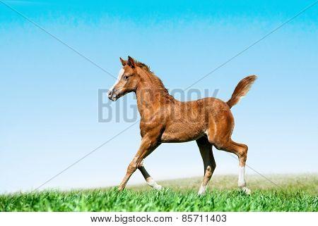 Foal Runs In A Field