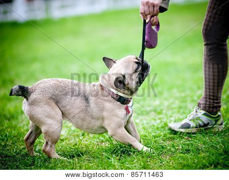 Dog Pulling The Leash