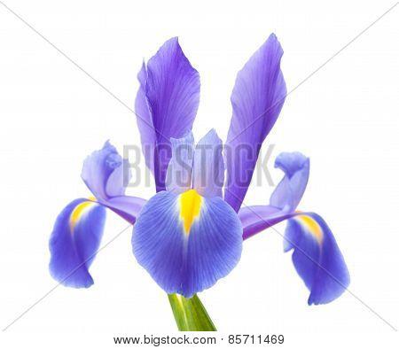 Dark Purple Iris Open Flowers Isolated On White