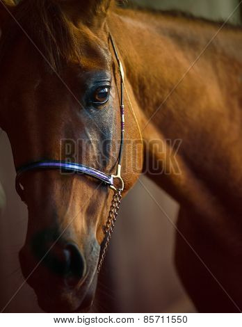 Close Up Of Arabian Horse