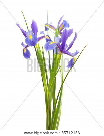 Dark Purple Iris Open Flowers Isolated On White
