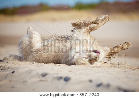happy dog rolling in the sand