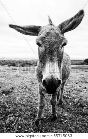 Black And White Donkey