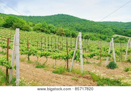 Landscape With Green Vineyard's Rows In Russia