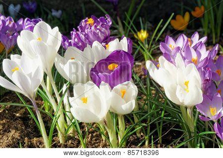 Crocus Flowers In Spring, Norway