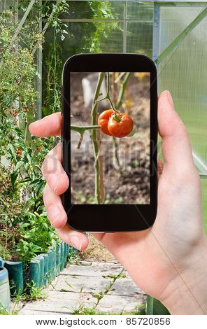 Tourist Photographs Of Greenhouse With Tomatoes