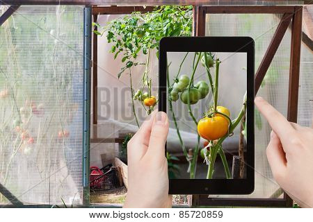 Tourist Takes Picture Of Green Tomatoes
