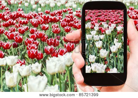 Tourist Photographs Of Red And White Tulips