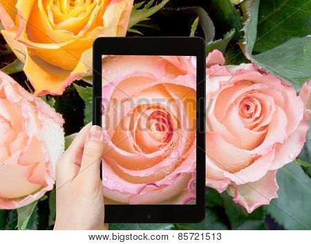 Tourist Photographs Of Fresh Wet Pink Rose Close Up