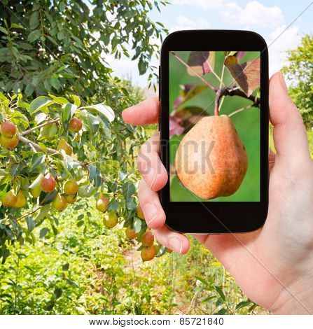 Tourist Photographs Of Ripe Pear Outdoors