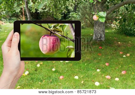 Tourist Photographs Of Ripe Pink Apple