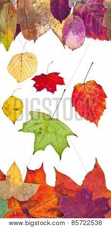 Many Fallen Autumn Leaves Isolated On White