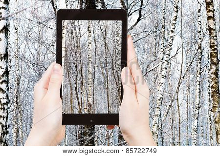 Tourist Photographs Of Birch In Winter Forest