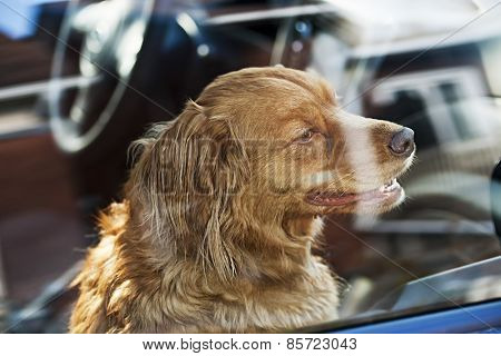 Portrait of australian shepherd dog locked in car