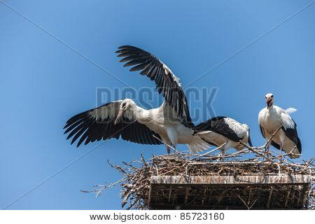White Storks In The Nest