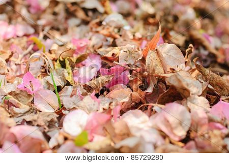 Dry Flowers Of Bougainvillea And Dry Leaf