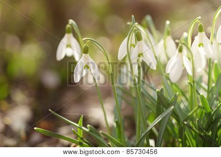 tender spring snowdrops in early spring morning