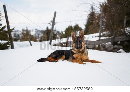 German Shepherd, portrait of a puppy in the snow