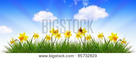 Blue Spring Sky And Yellow Daffodil.