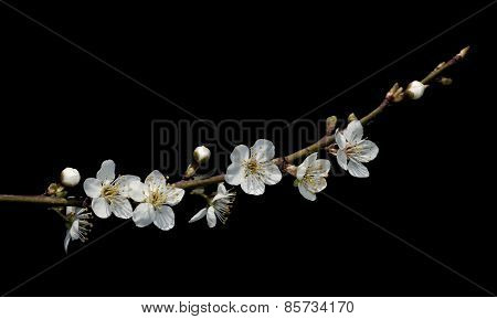 Spring Background With Plum Flowers On Black.