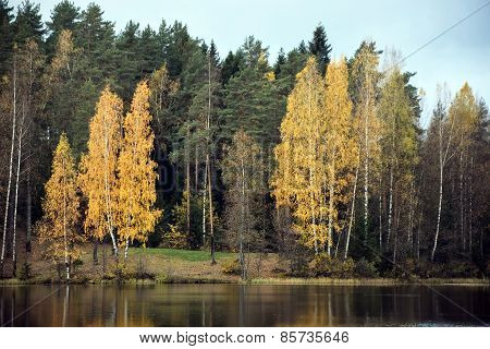 Forest Lake With Golden Birch Trees At The Autumn Season