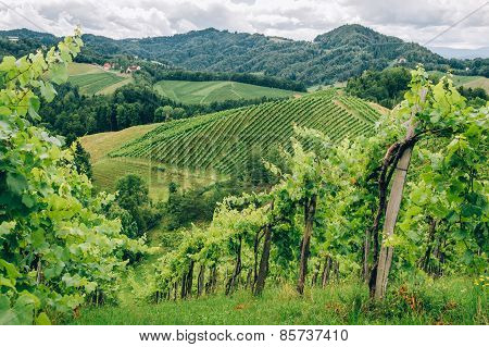 Grapevines in Southern Styria