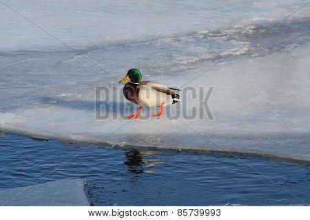 Mallard-Drake, on Ice