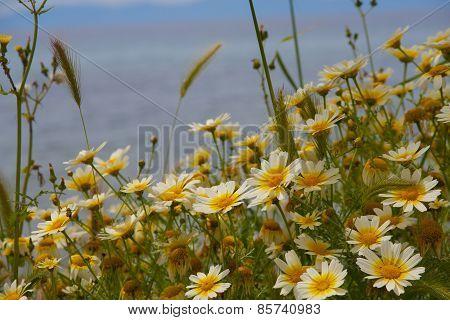Chamomile flower fild