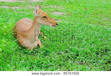 Eld's Deers Reclining On Grass
