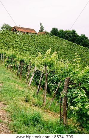 Grapevines in Styria