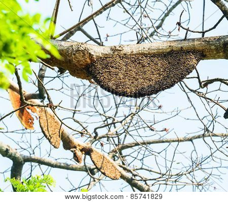 Honeycomb Or Beehive On The Big Tree In Forest