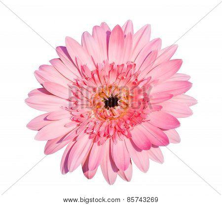 Pink Gerbera Flower..