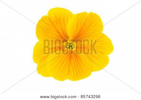 spring flower isolated on white