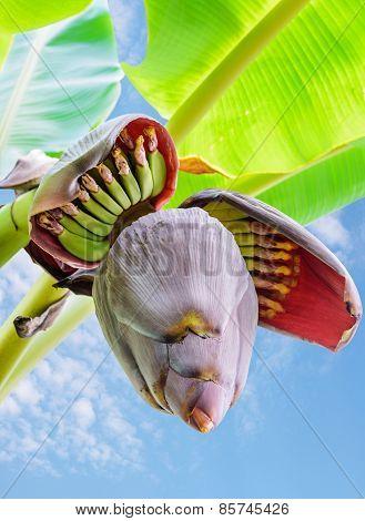 Banana Blossom And Bananas Bunch Close Up