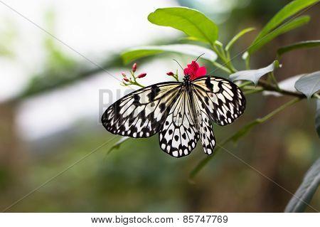 Idea leuconoe butterfly