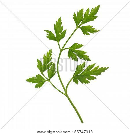 Parsley Aka Cilantro Isolated