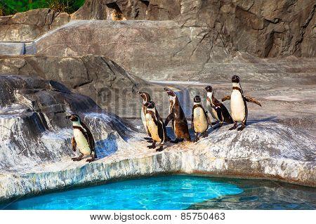 Cute Humboldt Penguins (Spheniscus Humboldt) in a zoo, Japan