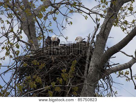 Eagle Parents on Nest