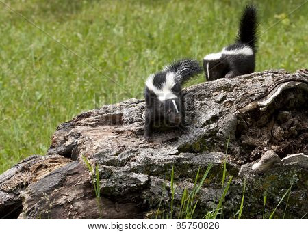 Two Baby Skunks on a Log