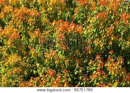 Leaves of azalea trees