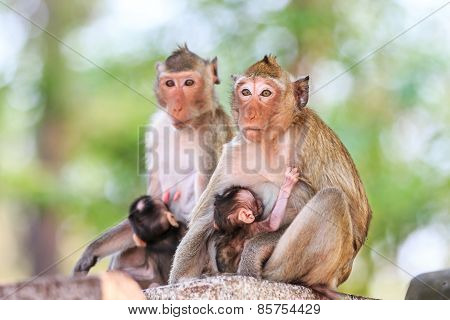 Monkey (crab-eating Macaque) Breastfeeding Baby In Thailand