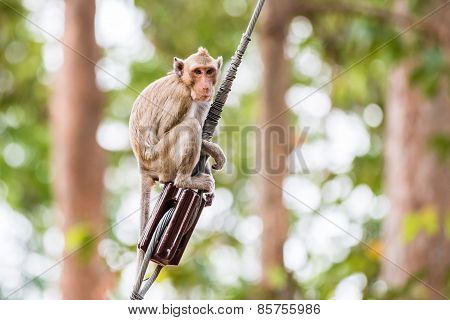 Monkey (crab-eating Macaque) Climbing On Power Cable In Thailand