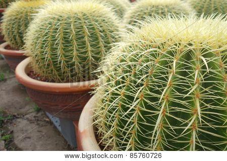 Round Green Cactus