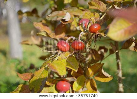 Red ripe berries of wild rose