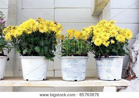 Gerbera Daisy plants in pots